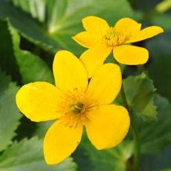 sq-marsh-marigold-003.jpg
