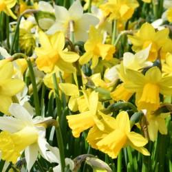 sq-miniature-daffodil-mix