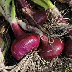 sq-onion-brunswick-001.jpg