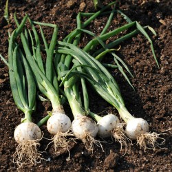 sq-onion-paris-silverskin-002.jpg
