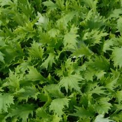 sq-oriental-veg-mizuna-greens-001.jpg