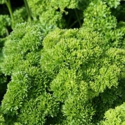 sq-parsley-champion-moss-curled-001.jpg