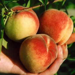 sq-peach-darling-001.jpg