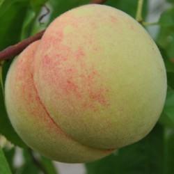 sq-peach-red-haven-001.jpg