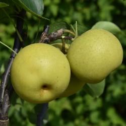 sq-pear-asian-shinseiki-002.jpg
