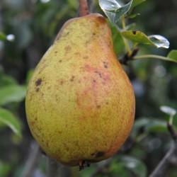 sq-pear-clapps-favourite-002.jpg