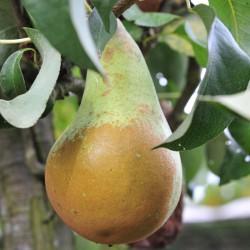 sq-pear-concorde-001.jpg