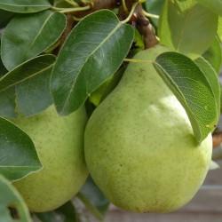 sq-pear-williams-bon-chretien-003.jpg