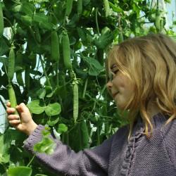 sq-picking-peas-009.jpg