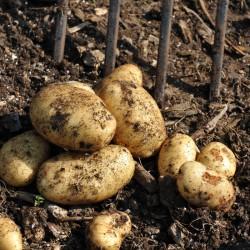 sq-potato-home-guard-002.jpg