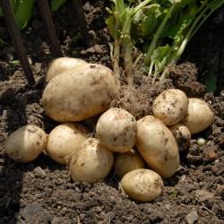 sq-potato-pentland-javelin-001.jpg