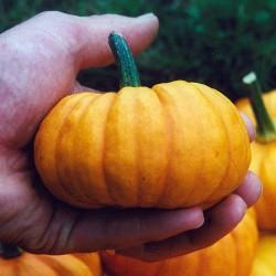 sq-pumpkin-jack-be-little-001.jpg