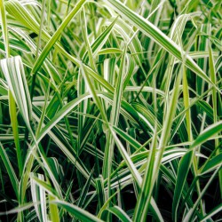 sq-reed-canary-grass-001.jpg