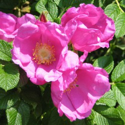 sq-rosa-rugosa-rubra-002.jpg