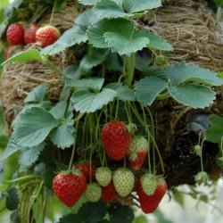 sq-strawberry-hanging-basket-003.jpg