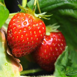 sq-strawberry-malwina-001.jpg