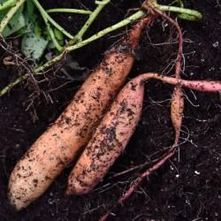 sq-sweet-potato-beauregard-001.jpg