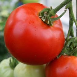 sq-tomato-abraham-lincoln-001.jpg
