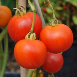 sq-tomato-amateur-003.jpg