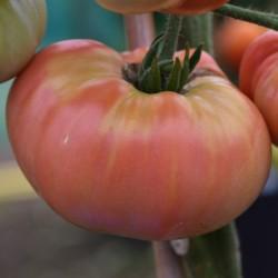 sq-tomato-aunt-ginnys-purple-001.jpg