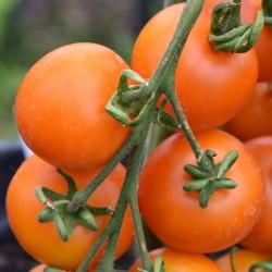 sq-tomato-auriga-001.jpg