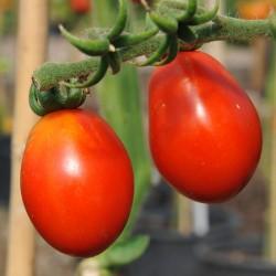 sq-tomato-austins-red-pear-001.jpg