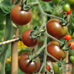 sq-tomato-black-cherry-002.jpg