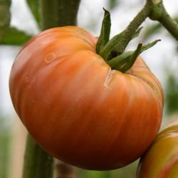 sq-tomato-black-from-tula-002.jpg