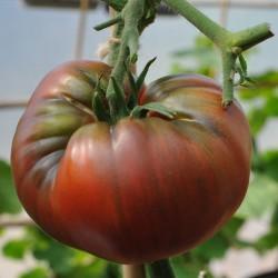 sq-tomato-black-krim-002.jpg