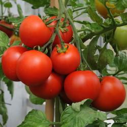 sq-tomato-blizzard-001.jpg