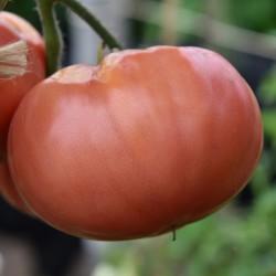 sq-tomato-caspian-pink-001.jpg