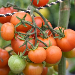 sq-tomato-christmas-grapes-001.jpg