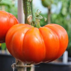 sq-tomato-cuostralee-002.jpg