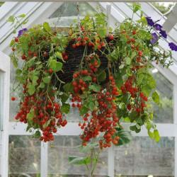 sq-tomato-gartenperle-001.jpg