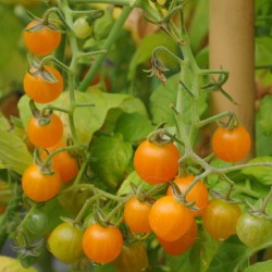 sq-tomato-gold-rush-currant-007.jpg