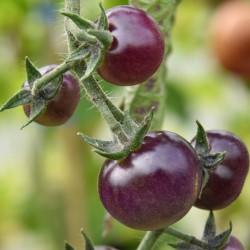 sq-tomato-indigo-blue-berries-002.jpg