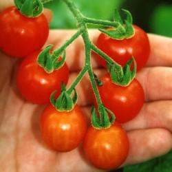 sq-tomato-mexico-midget-002.jpg
