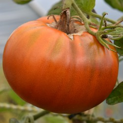 sq-tomato-paul-robeson-003.jpg