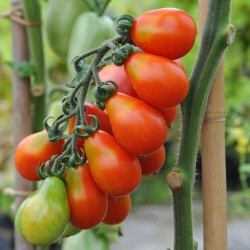sq-tomato-red-fig-002.jpg
