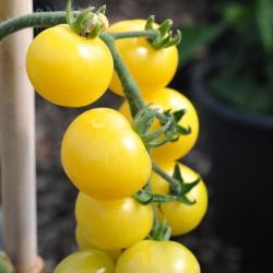 sq-tomato-snow-white-002.jpg