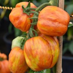 sq-tomato-striped-stuffer-001.jpg