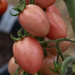 sq-tomato-thai-pink-002.jpg
