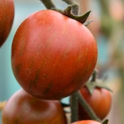 sq-tomato-tigro-001.jpg