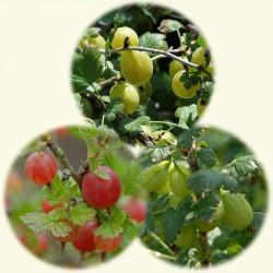sq-traffic-light-gooseberries.jpg