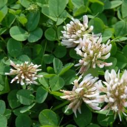 sq-trifolium-repens-001.jpg