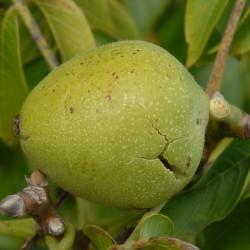 sq-walnut-broadview-001.jpg