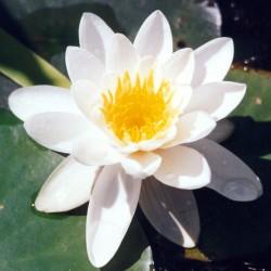 sq-water-lily-alba-001.jpg