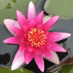 sq-water-lily-escarboucle-001.jpg