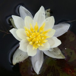 sq-water-lily-miniature-helvola-001.jpg