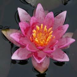sq-water-lily-miniature-rubra-001.jpg